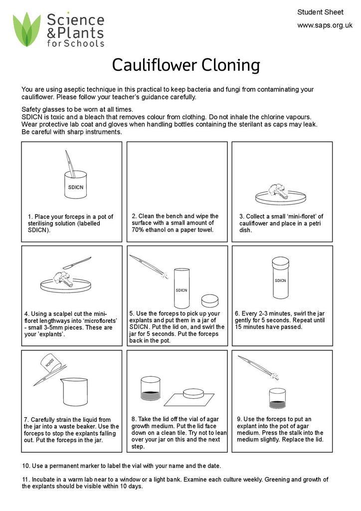 Cauliflower cloning (Easy method) | STEM