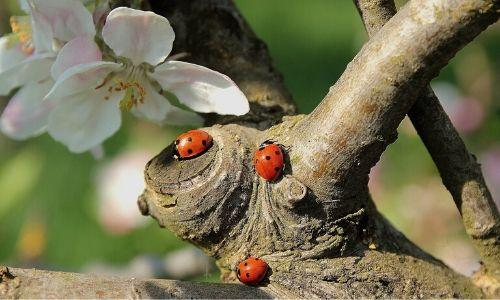 Group of ladybirds on an apple blossom branch